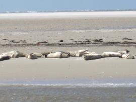 Seehunde am Wattenmeer