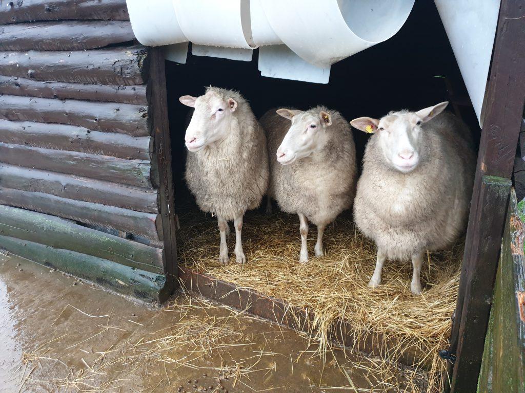 Schafe Stall Regen