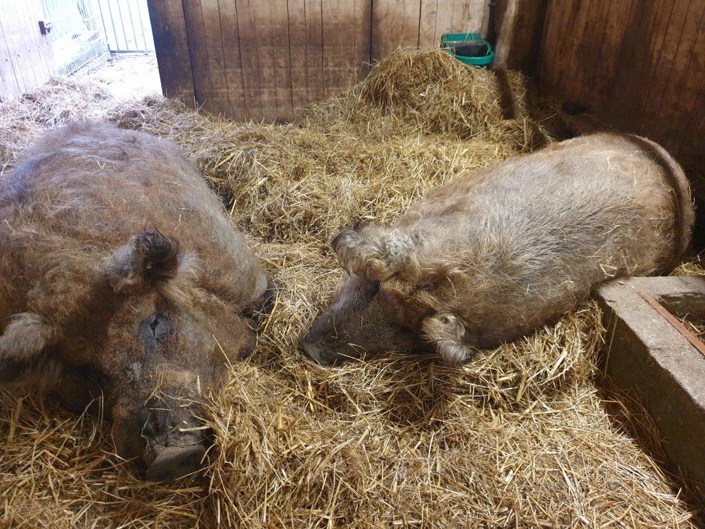 Ferdinand und Pinky liegen jetzt im warmen Stroh im Präsentationsstand