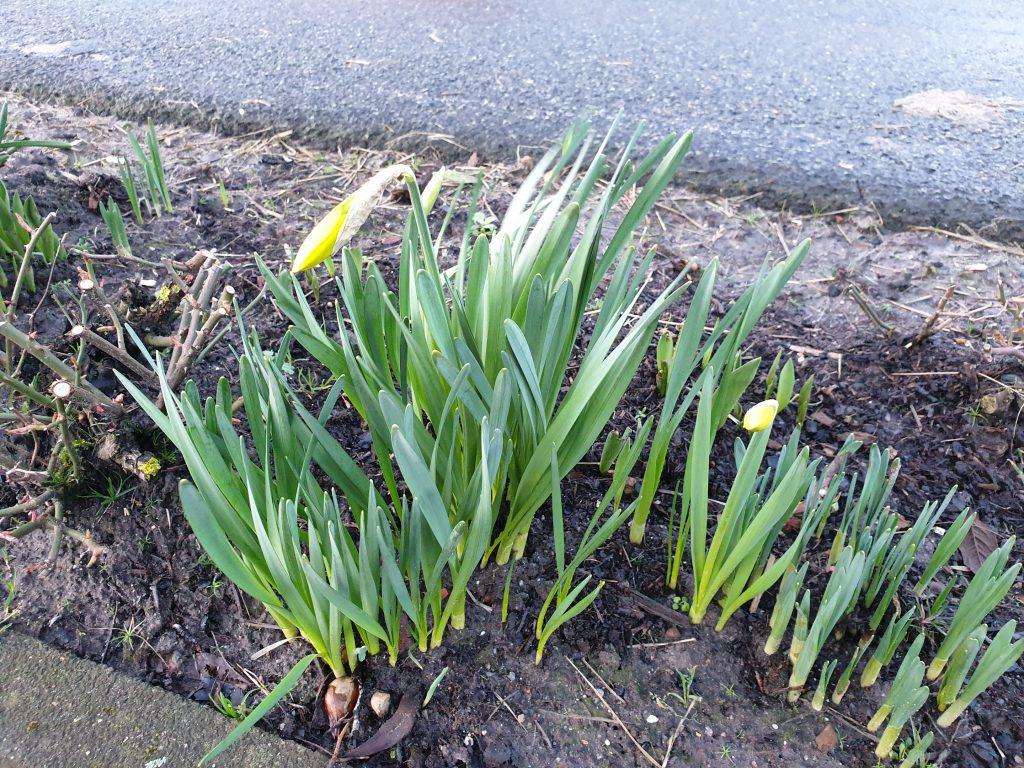 Die ersten Osterblumen beginnen zu erblühen, wie in jedem Jahr an gleicher Stelle an der Edenserloogerstraße