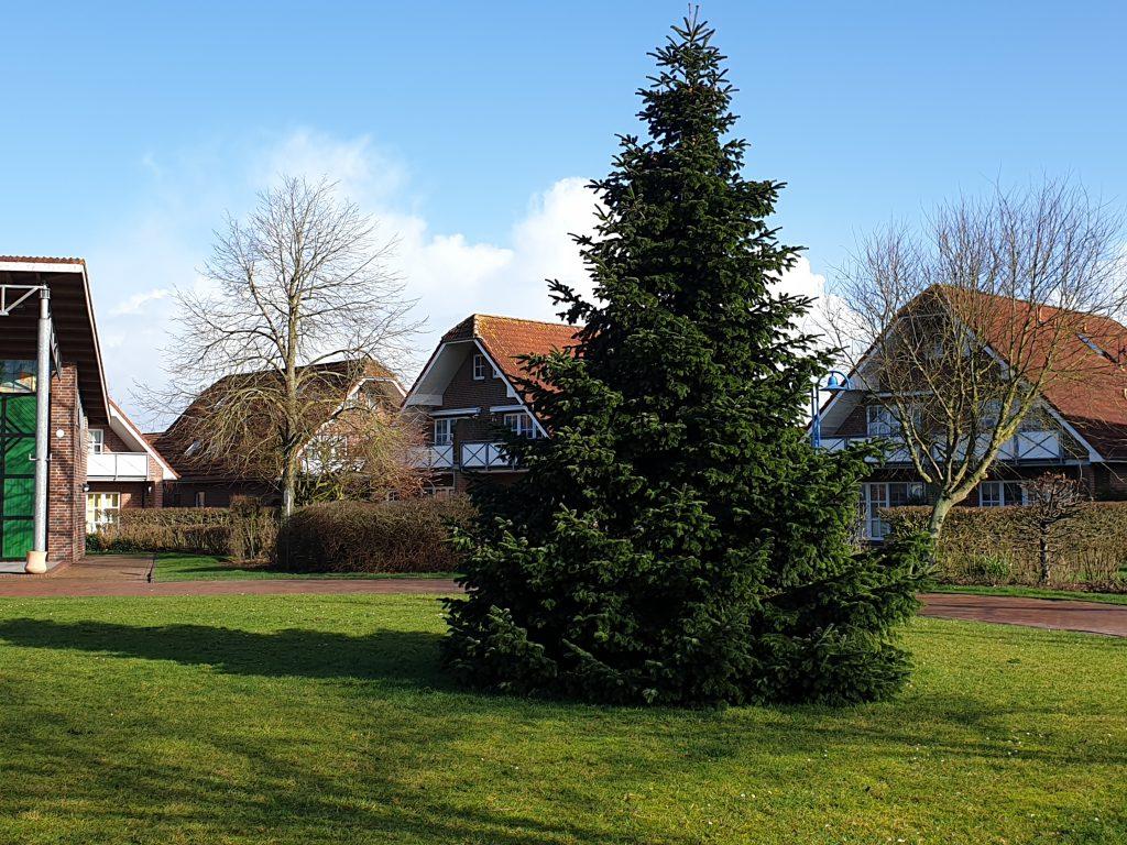 Abgeschmückt steht der prächtige Baum noch auf dem Dorfplatz