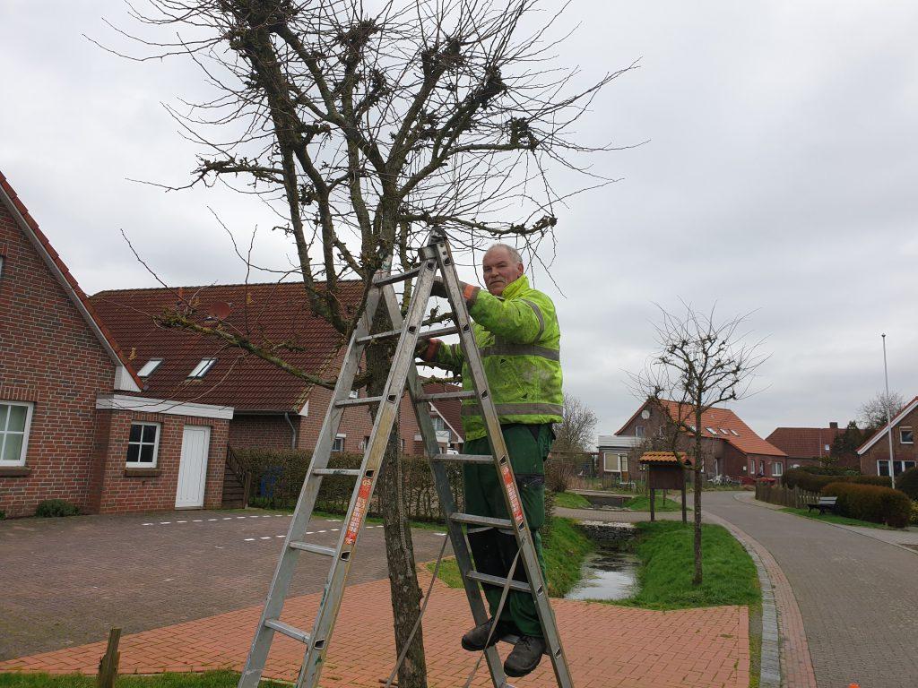 Wilhelm Friedrichs beschneidet die Bäume an der Alten Schmiedestraße