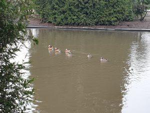 und ziehen immer gemeinsam über den Teich