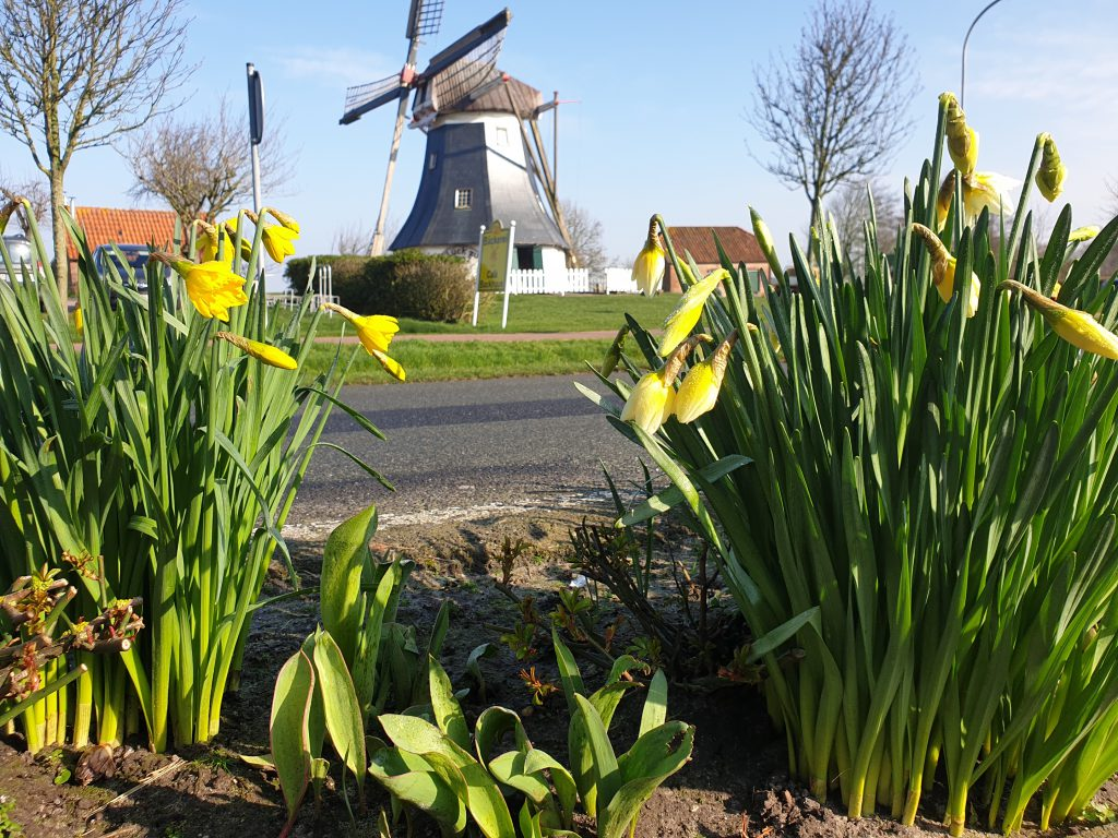 Blick durch blühende Osterblumen zur Mühle in der Frühlingssonne
