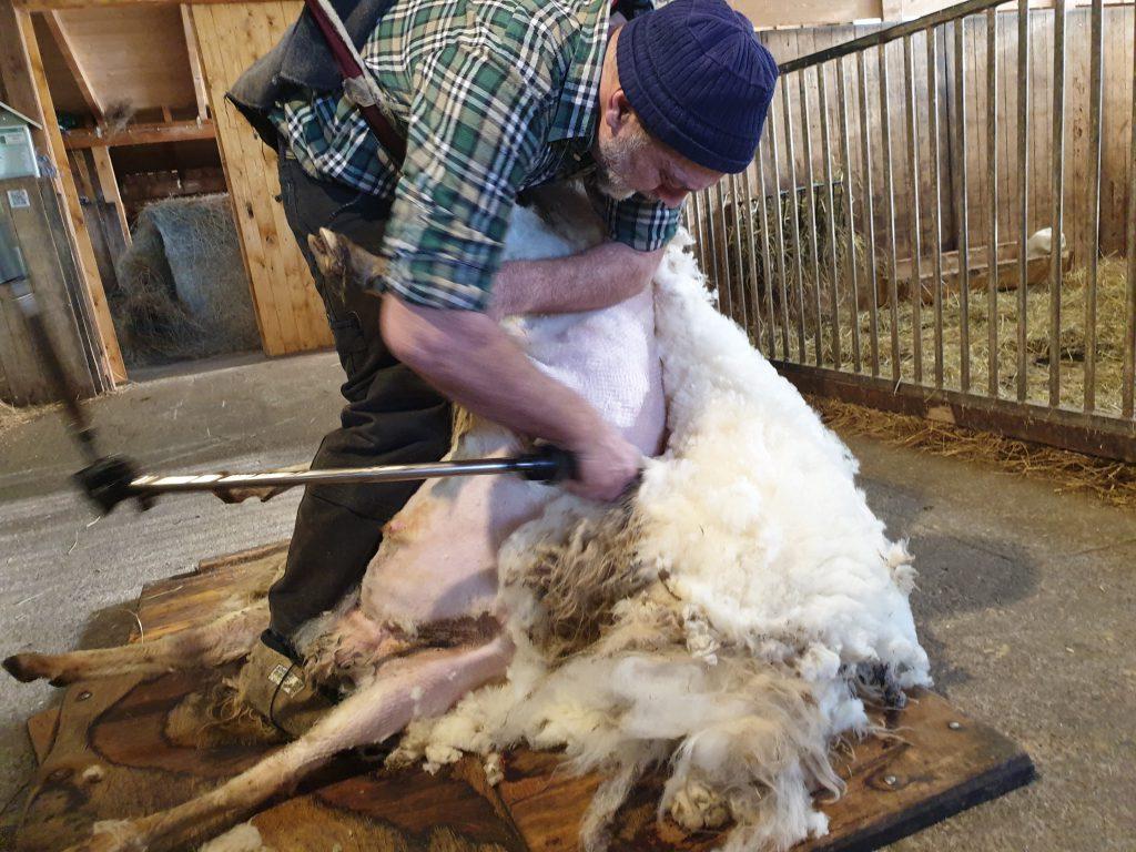 Ulrich Nitz schert die Schafe im Accord
