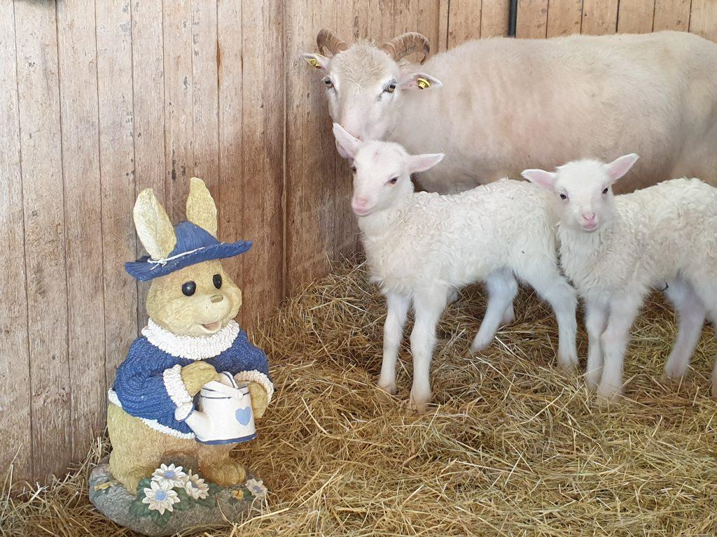 """Die Osterlämmer """"Hilde"""" und """"Rudi"""" begrüßen ihn mit Mama Susi"""