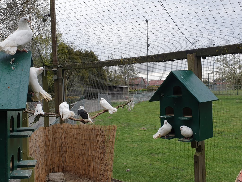 Die Klätschertauben haben die von Peter Vollenbruch neu erstellten Taubenhäuser in Beschlag genommen