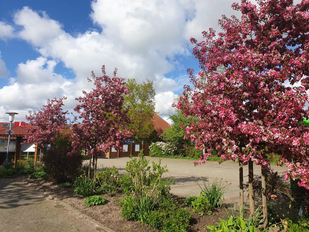 """Die Zier-Apfelbäume am Parkplatz am """"Haus des Gastes"""""""