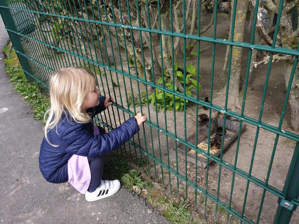 Lotta bestaunt die kleinen Wildenten-Küken