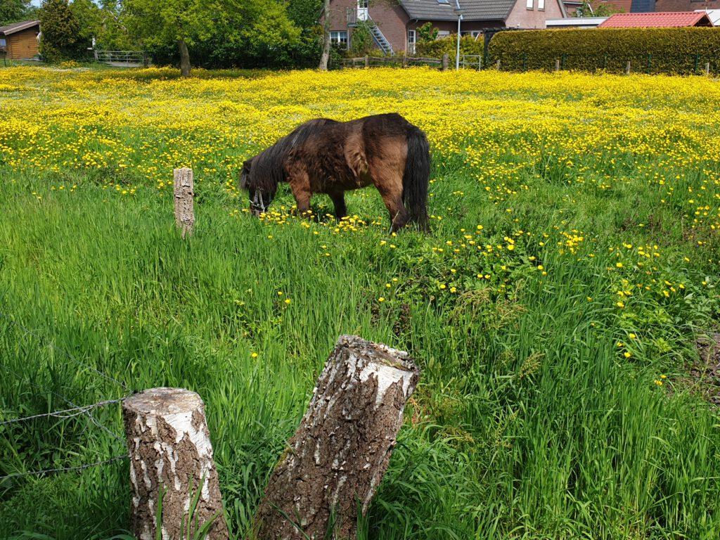 """Gerold Strudthoffs Pony auf der """"Butterblumenwiese"""""""