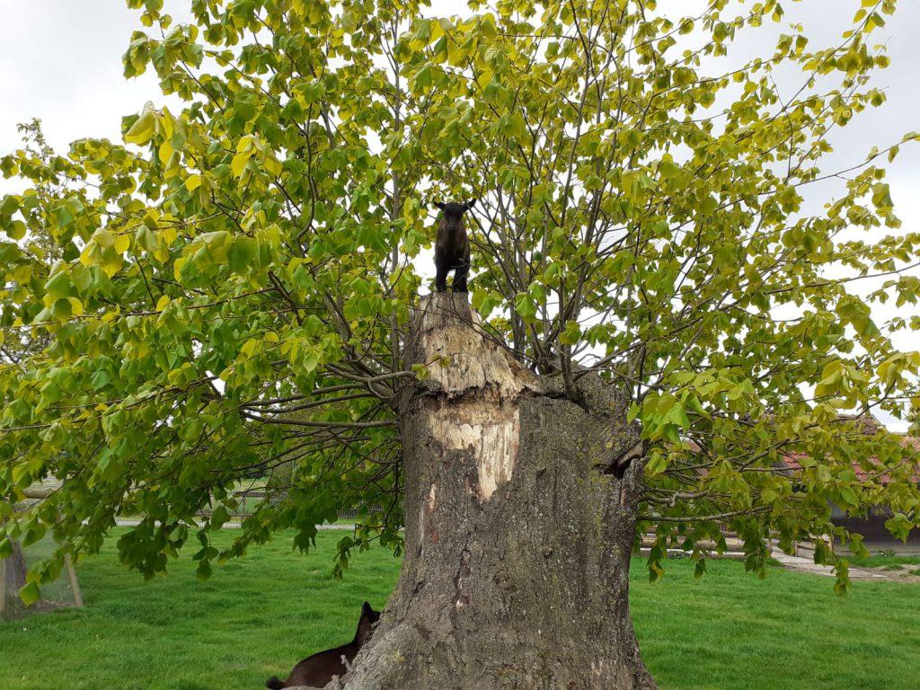 """""""Klettermaxe"""" - Die Juan-Fernandez-Ziege oben im Baum"""