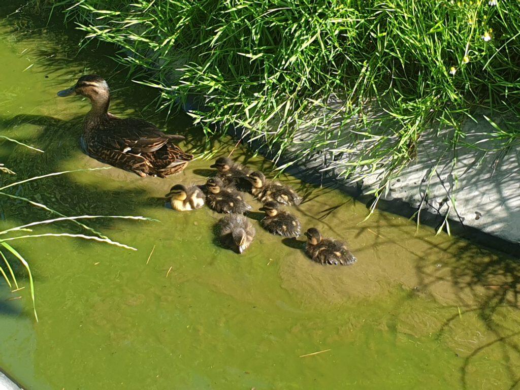 Mama Ente schwimmt mit ihren Küken auf dem kleinen Teich