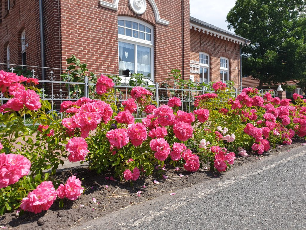 "Blühende Rosen vor dem ""Mesterhuus"""