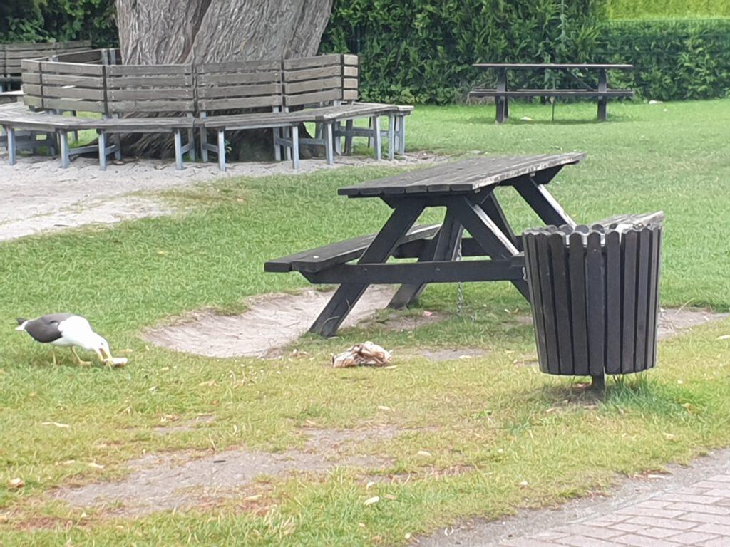 auf frischer Tat erwischt - eine Möwe durchsucht den Müll nach Essbarem