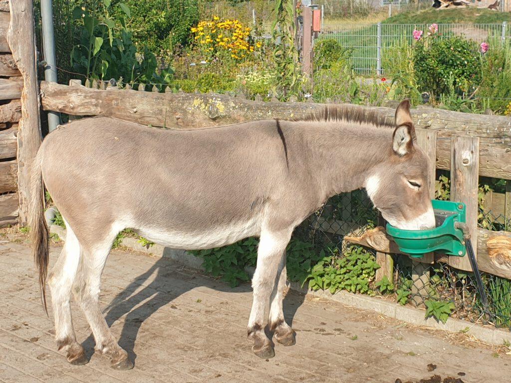 """Bei der Hitze müssen auch Esel, hier """"Gesa"""", viel trinken"""
