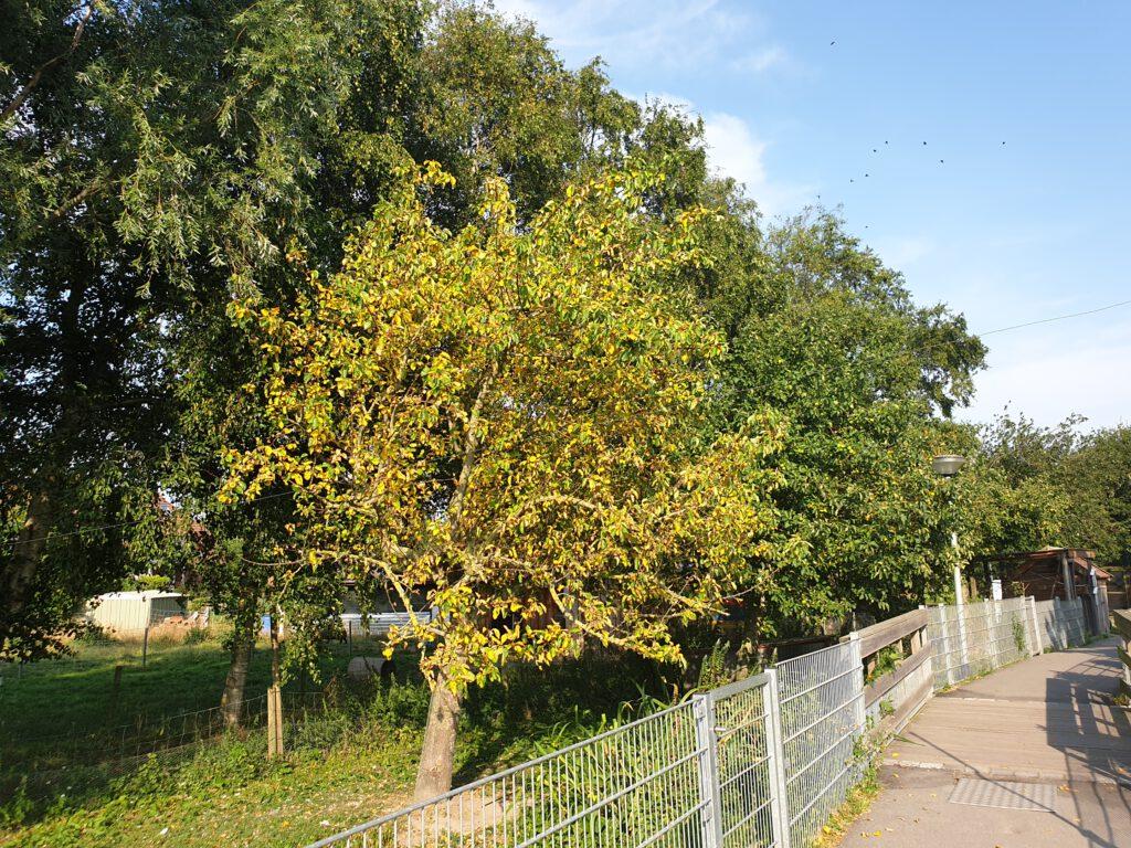 """Dieser Apfelbaum lebt schon auf """"Reserve"""". Die Blätter färben sich schon herbstlich; die Äpfel verkümmern am Baum"""