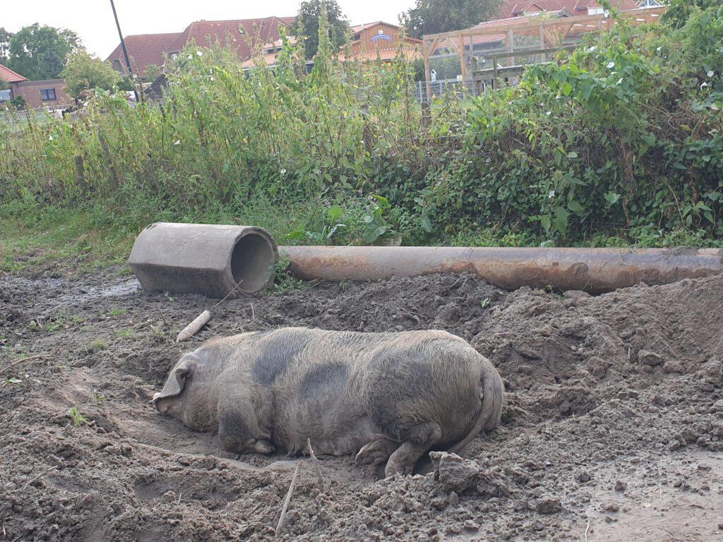"""Auch in der Schweinesuhle gräbt sich """"Trude"""" gleich ein"""