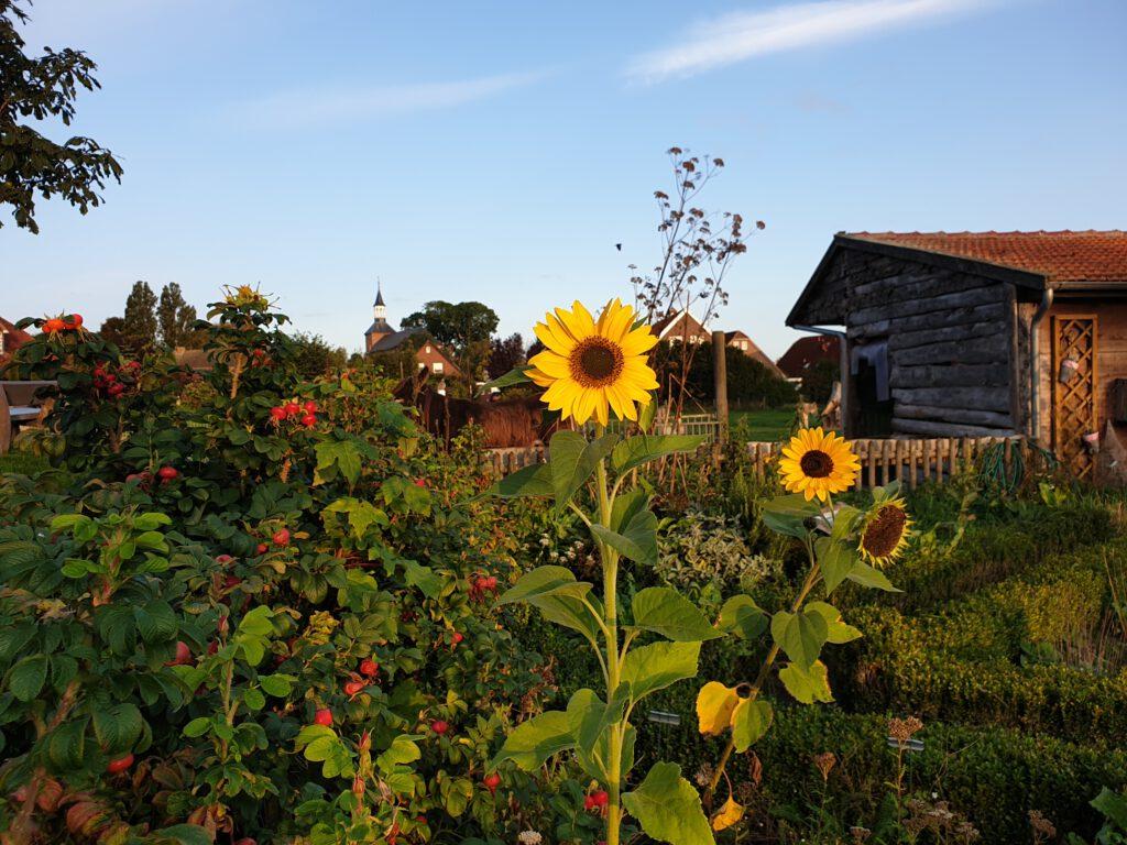 Sonnenblumen im Kräutergarten