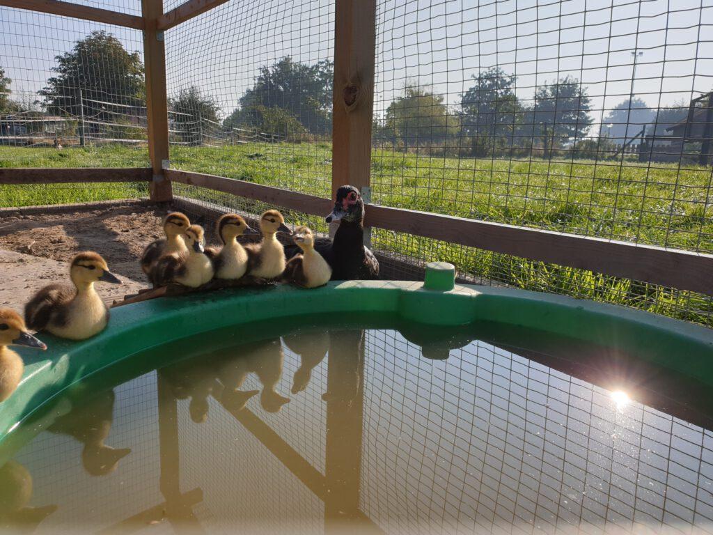 """""""Alles startklar"""" - die Moschusenten stehen bereit für die Schwimmstunde"""