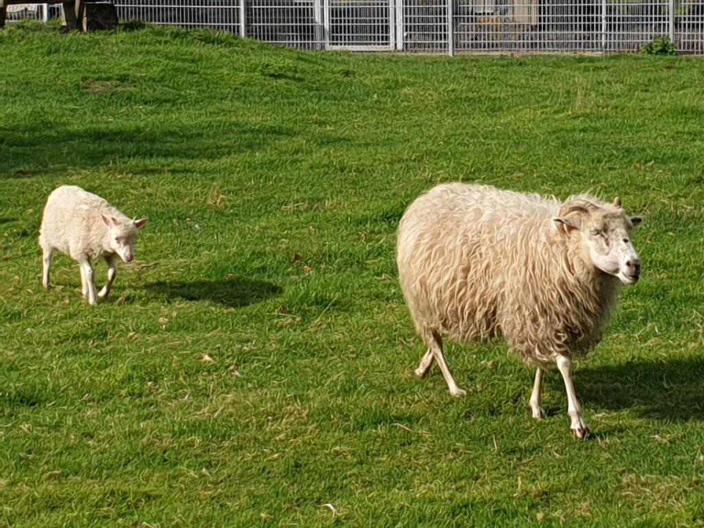 """Heidschnucke """"Marie"""" trottet über die Weide, Lamm """"Linda"""" zuckelt hinterher"""