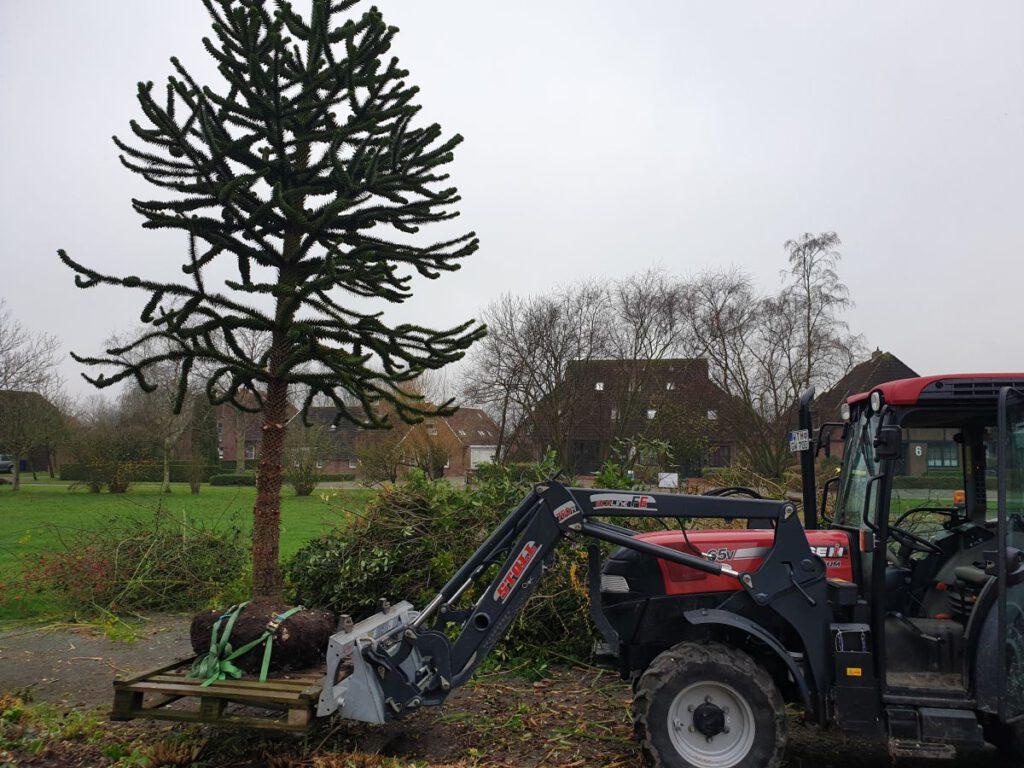 sauber verpackt wird der Baum abtransportiert