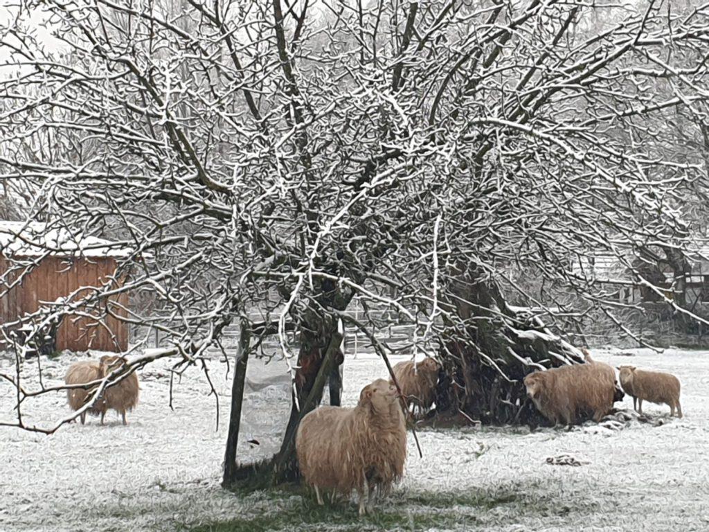Den Heidschnucken macht der Schnee nichts aus, sie haben ein dichtes Wollkleid
