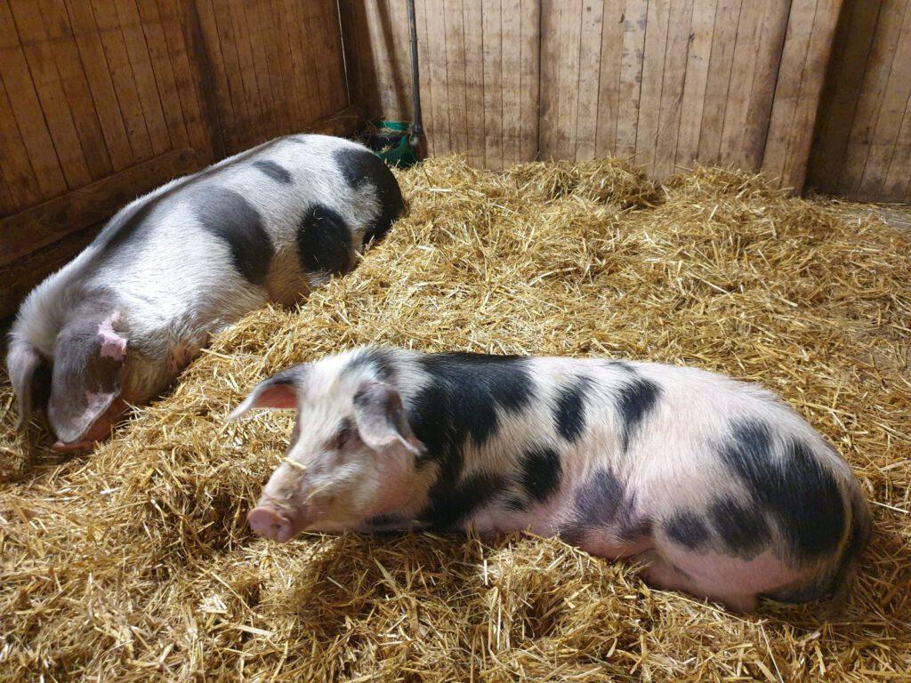 die beiden Schweine kommen schon gut miteinander aus