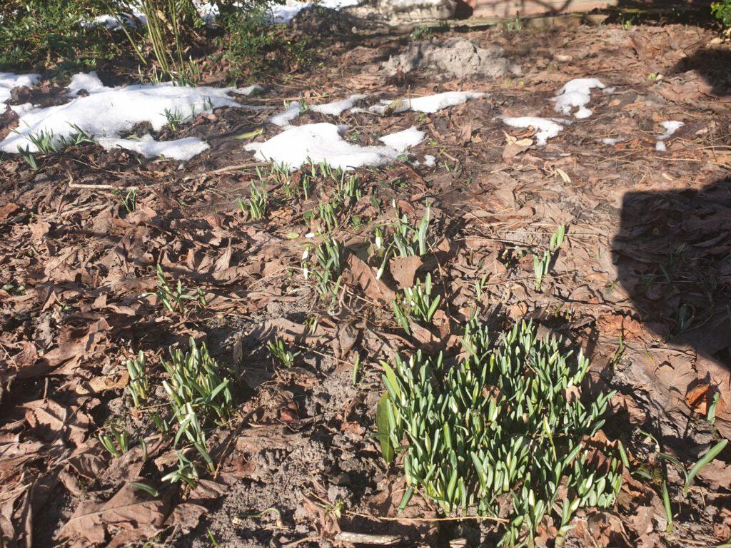Noch bei Eis und Schnee trauen sich diese Schneeglöckchen in Edenserloog ans Licht