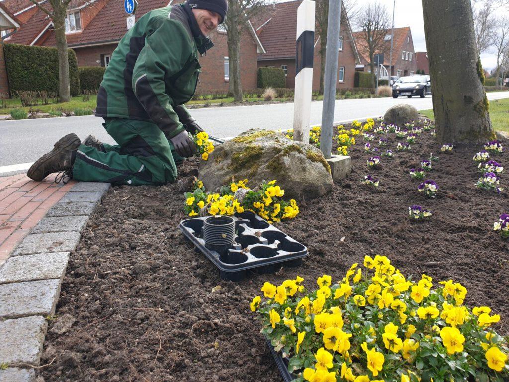 """Eddy Goldenstein pflanzt an der Kreuzung """"An der Kirche"""" die ersten gelben Hornveilchen"""
