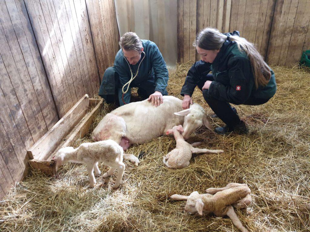 Noch sind sie zu Dritt, aber auch der Tierarzt und Nantke de Groot können den kleinen Bernd nicht retten