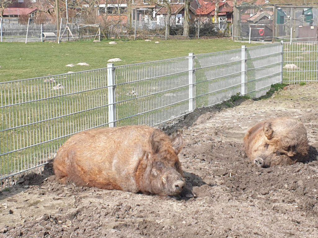 """""""Ferdinand"""" und """"Pinky"""" lassen sich die Sonne auf die Wolle scheinen"""