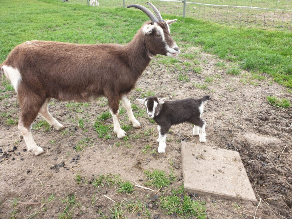 """Die kleine """"Charlotte"""" macht mit Mama ihre ersten Gehversuche auf der Weide"""