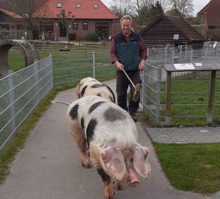 Karl-Heinz Michels-Lübben lotst die Schweine ganz ruhig in die Schweinesuhle