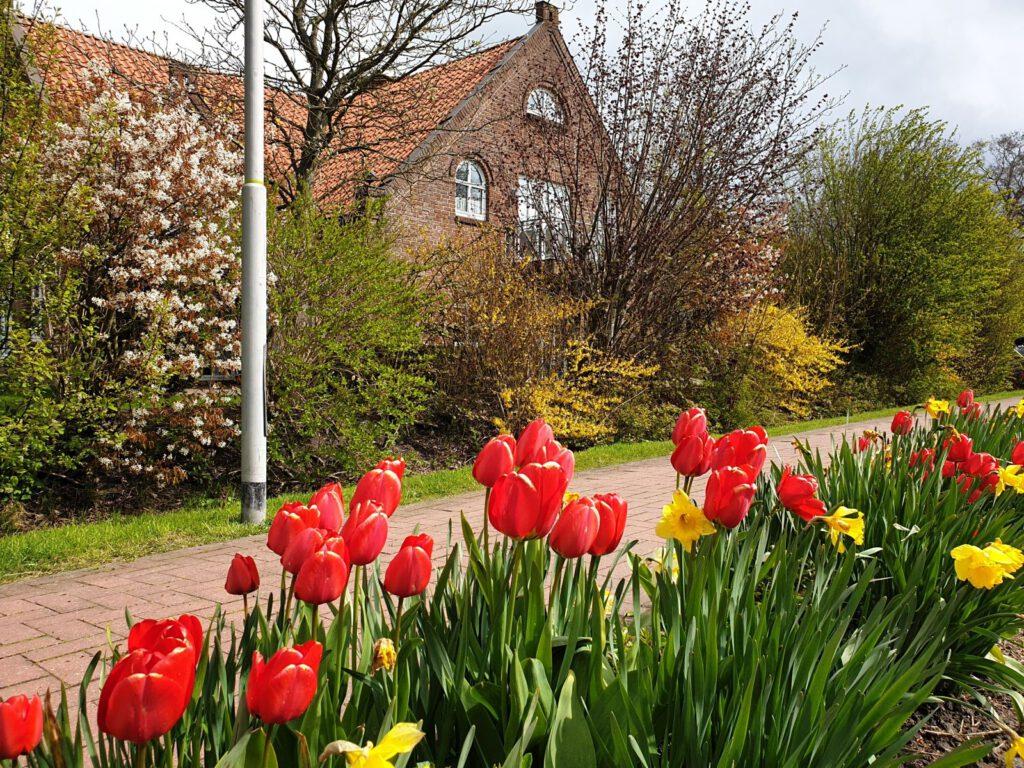 Die Tulpen haben an der Edenserlooger Straße die Osterblumen verdrängt