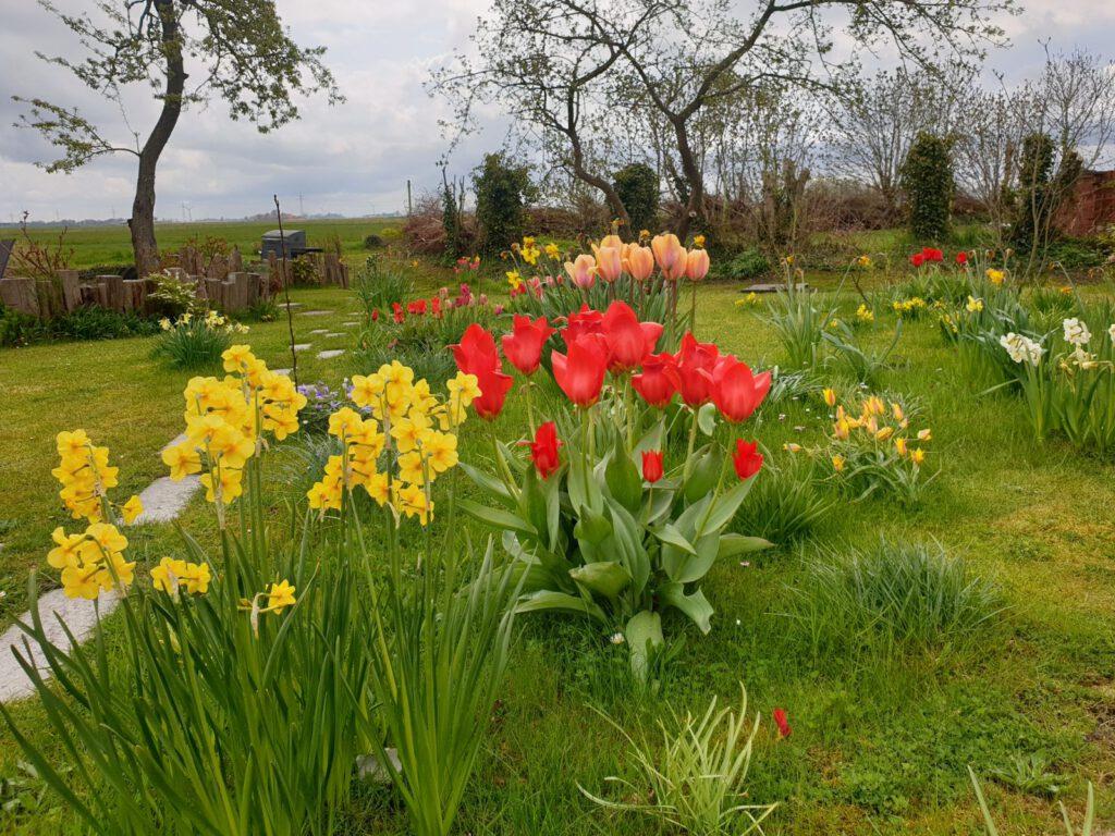 Tulpen in Nachbars Garten