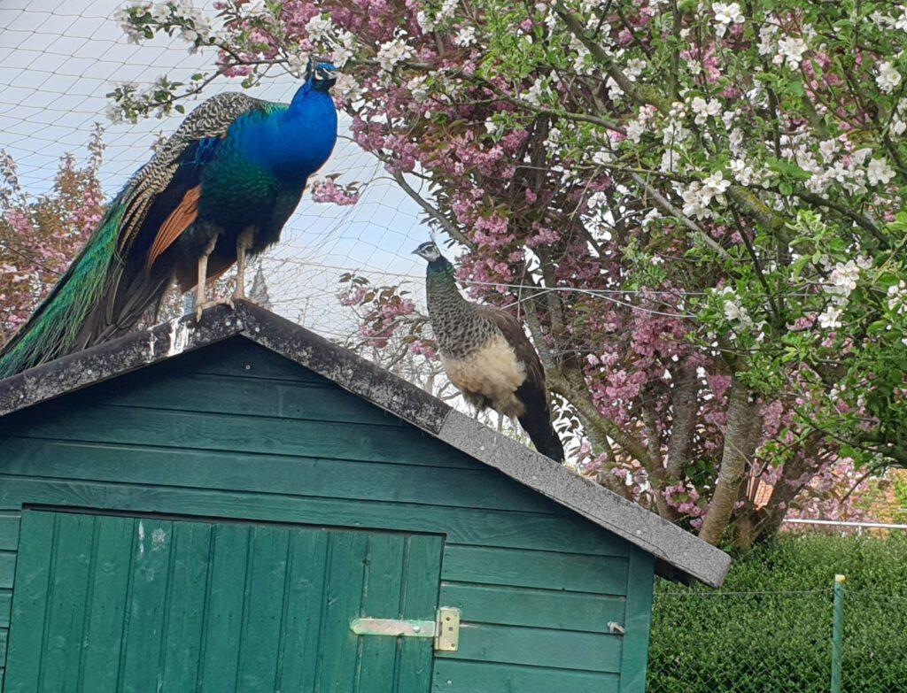 beide Pfauen halten Ausschau vom Dach ihrer Schutzhütte