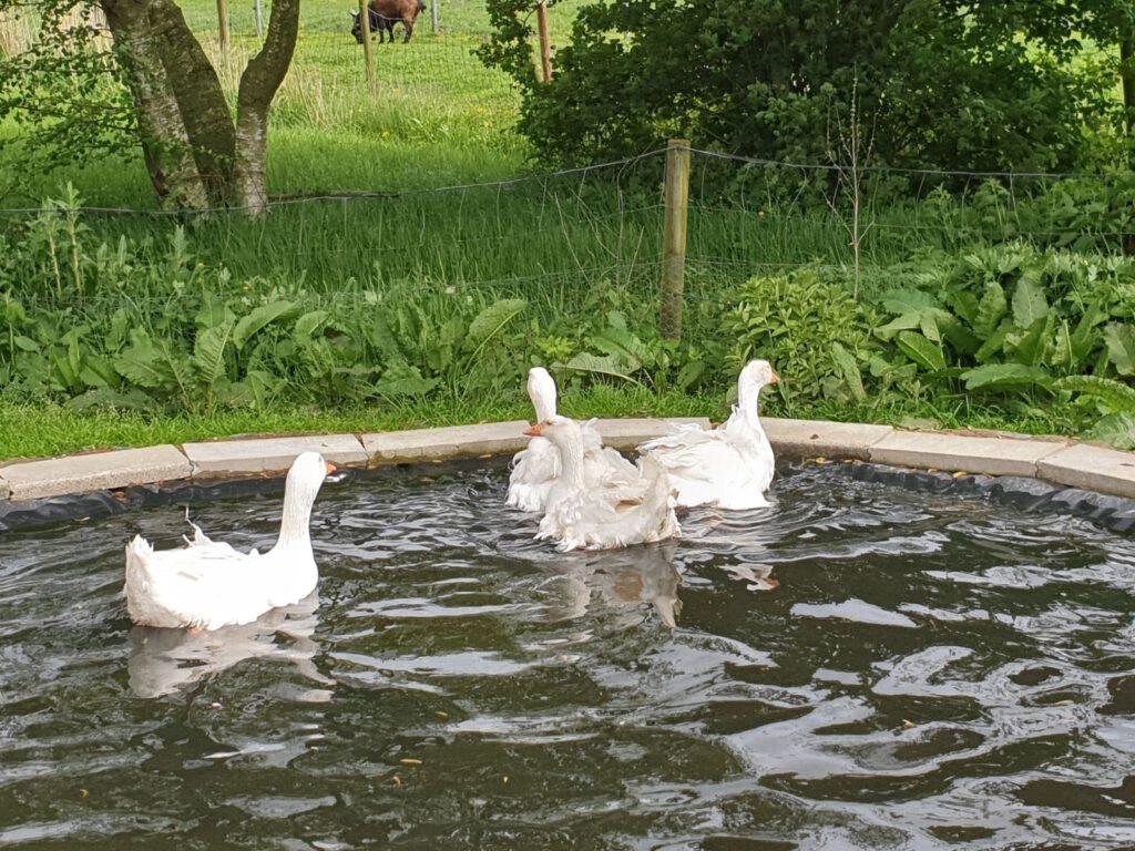 Auch die Lockengänse genießen das erste Bad im Teich