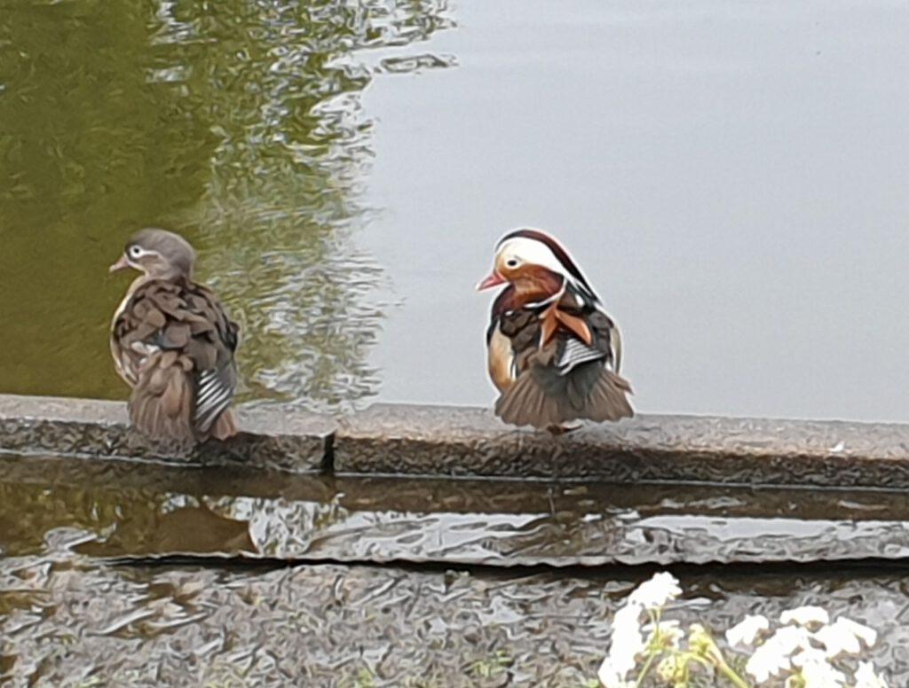 Paarweise leben die Mandarinenten am Teich