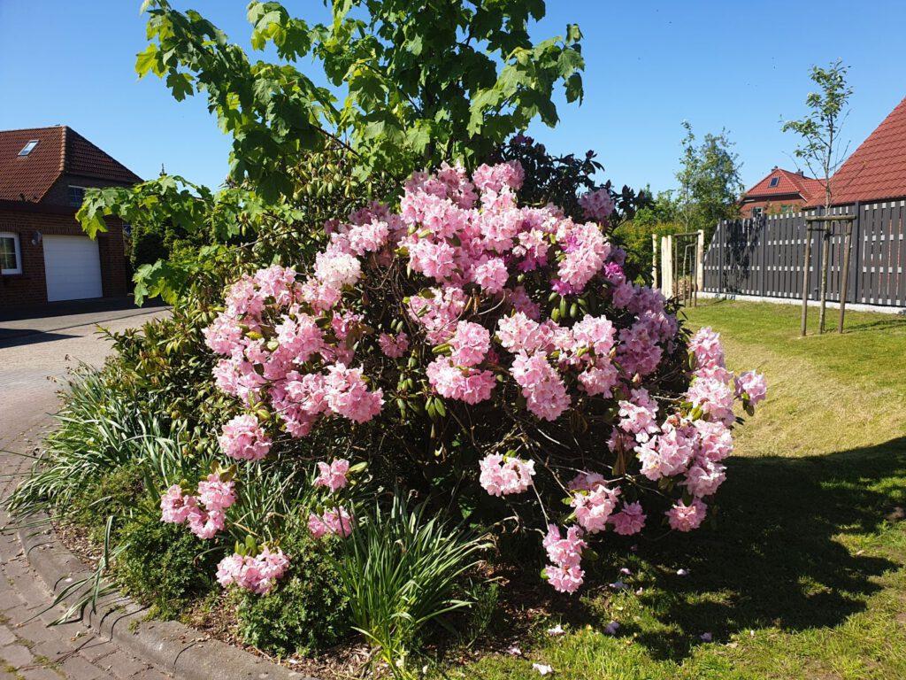 Der kühle Mai machts möglich, die Rhododendronbüsche blühen deutlich länger