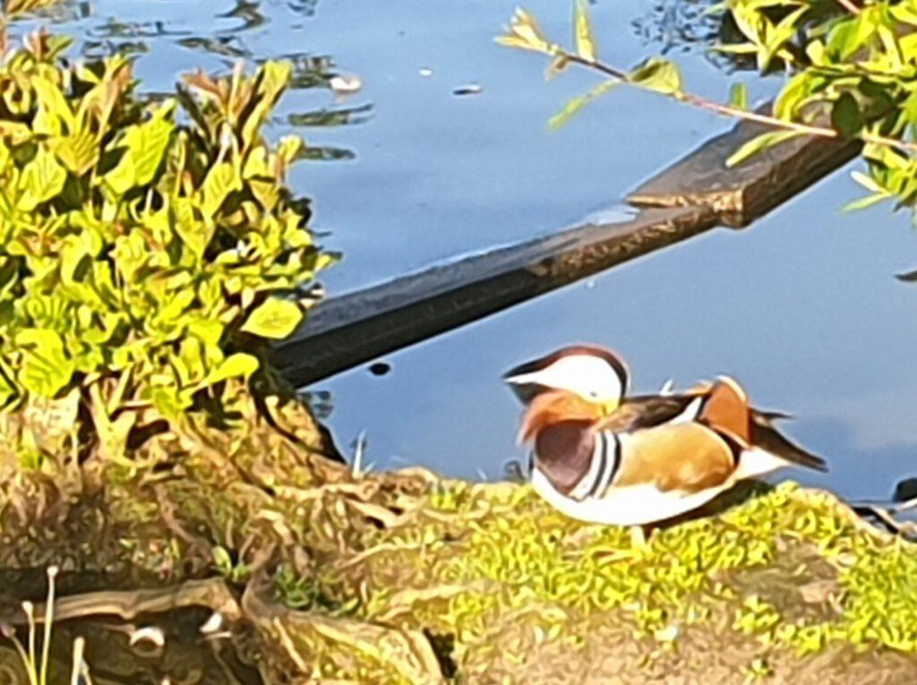 Auch diese Mandarinente genießt die Junisonne am Ententeich im Haustierpark