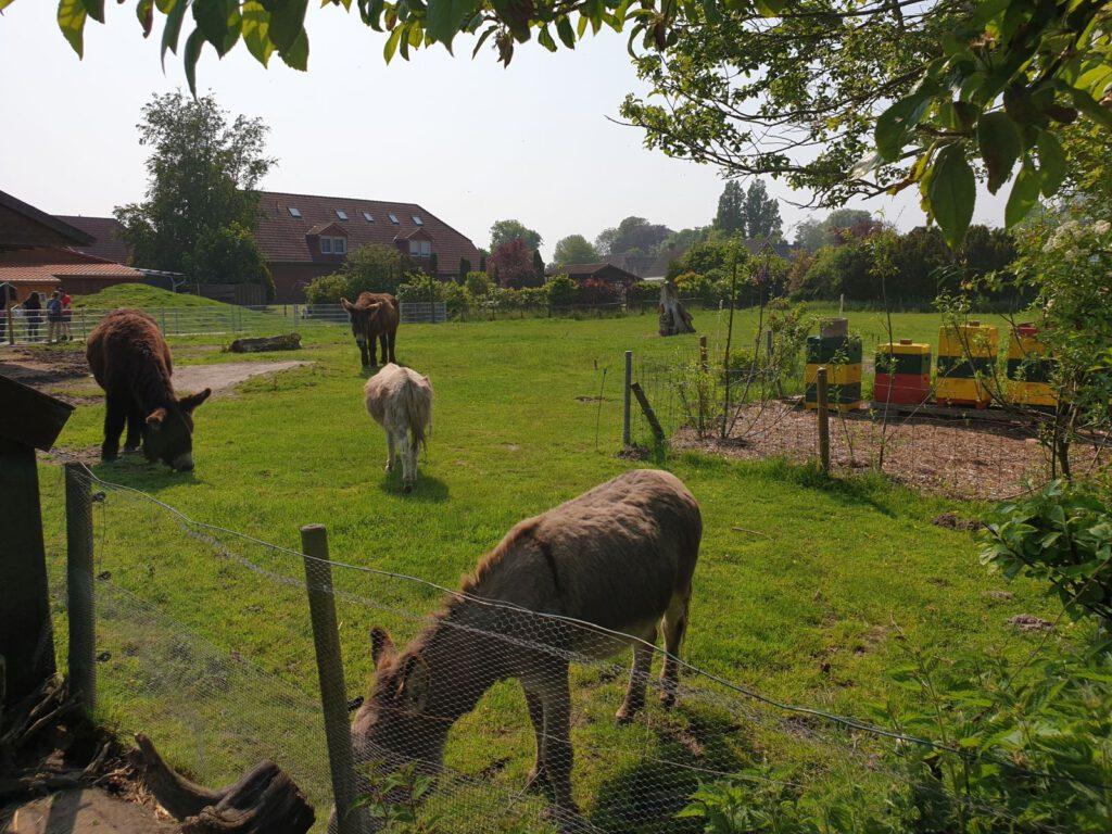 Die Esel weiden auf ihrem Gelände