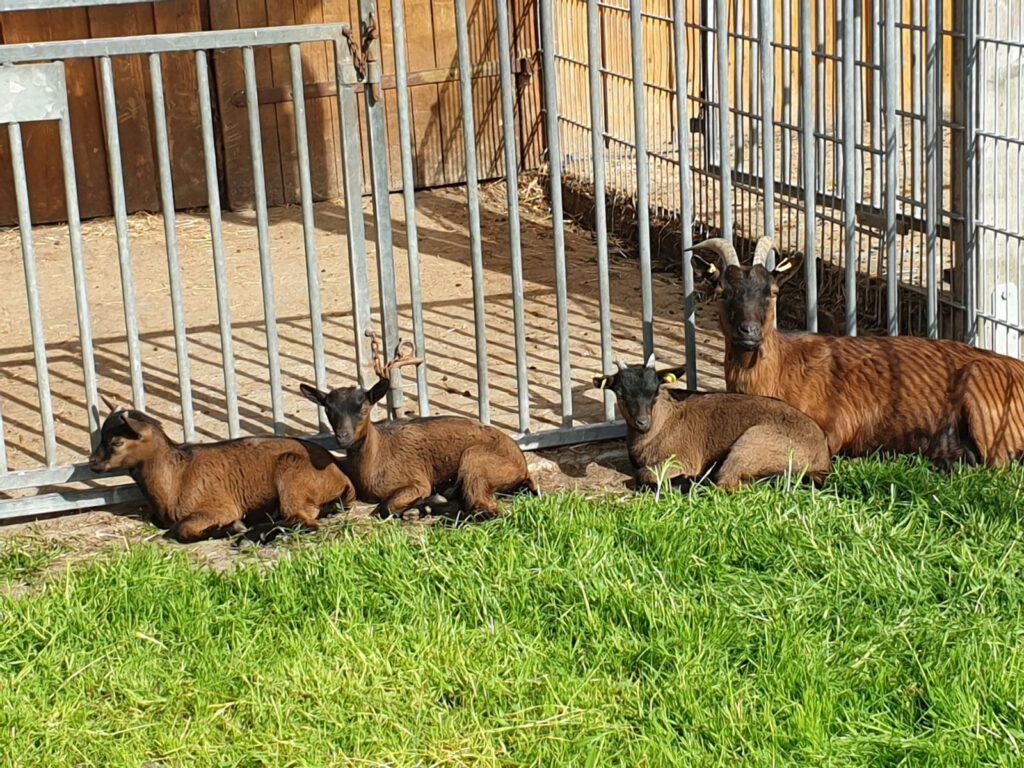 Die Juan-Fernandez-Ziegenfamilie döst faul in der Sonne