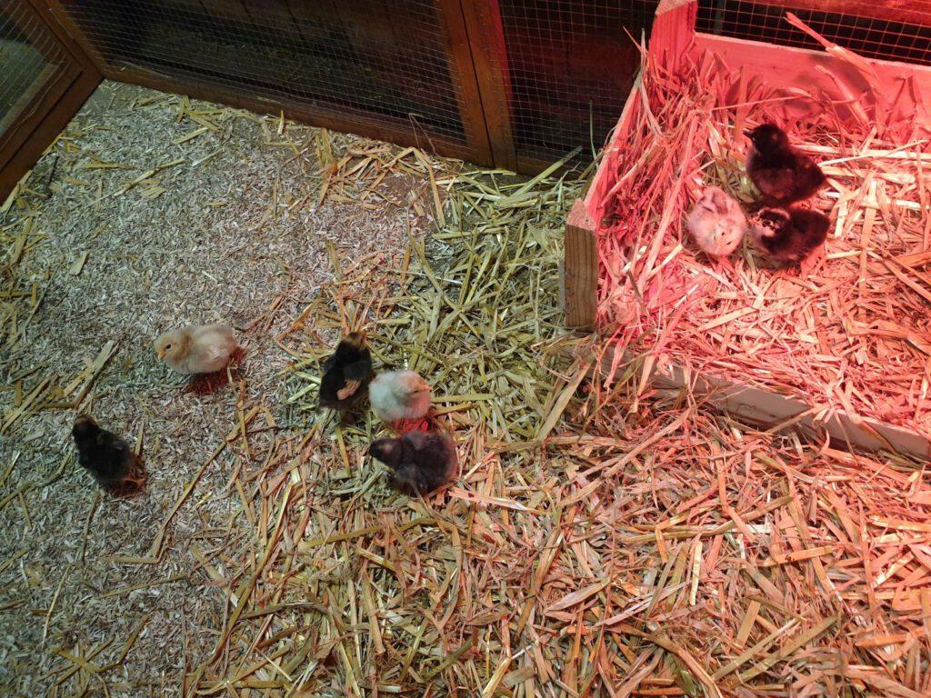 diese 8 kleinen Küken sind die jüngsten Bewohner des Haustierparks