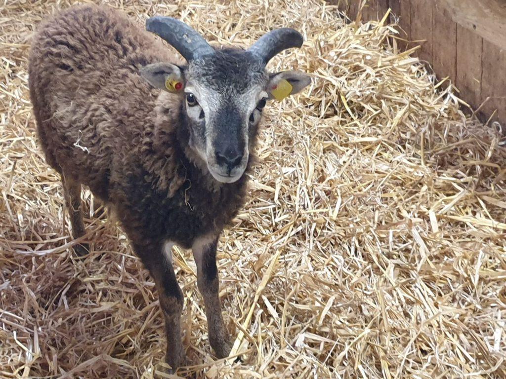 """""""Mein Name ist Hinnerk und ich werde neuer Chef der Soay-Schafe"""""""