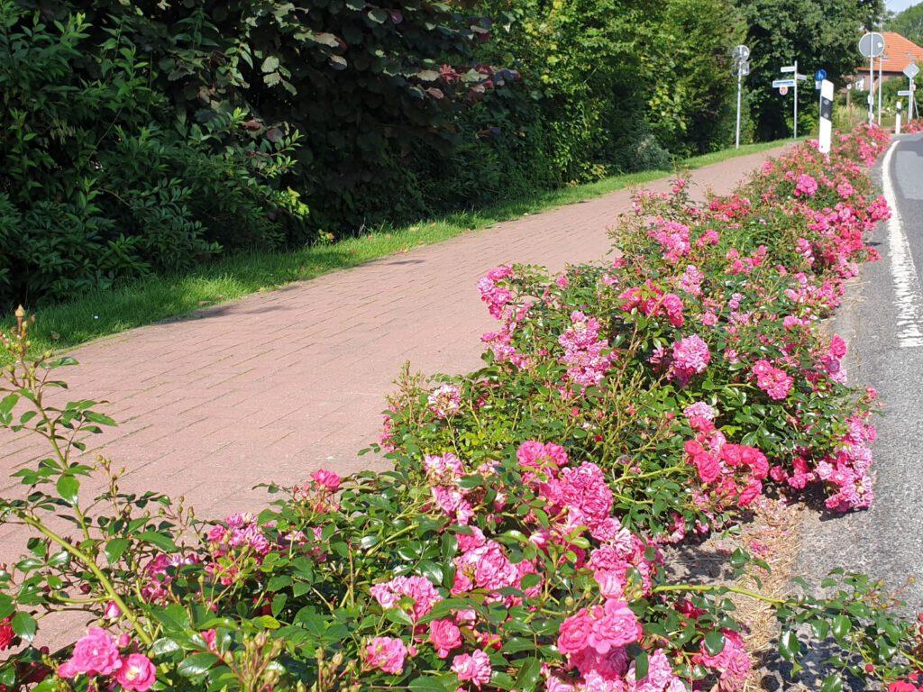 "Die Edenserlooger Straße - die ""Rosen-Allee"""