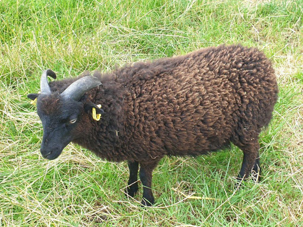"""der kleine Quessantbock """"Romeo"""" ist gestern neu in den Park gekommen. Er wird """"Fritz"""" als Leitbock ablösen."""