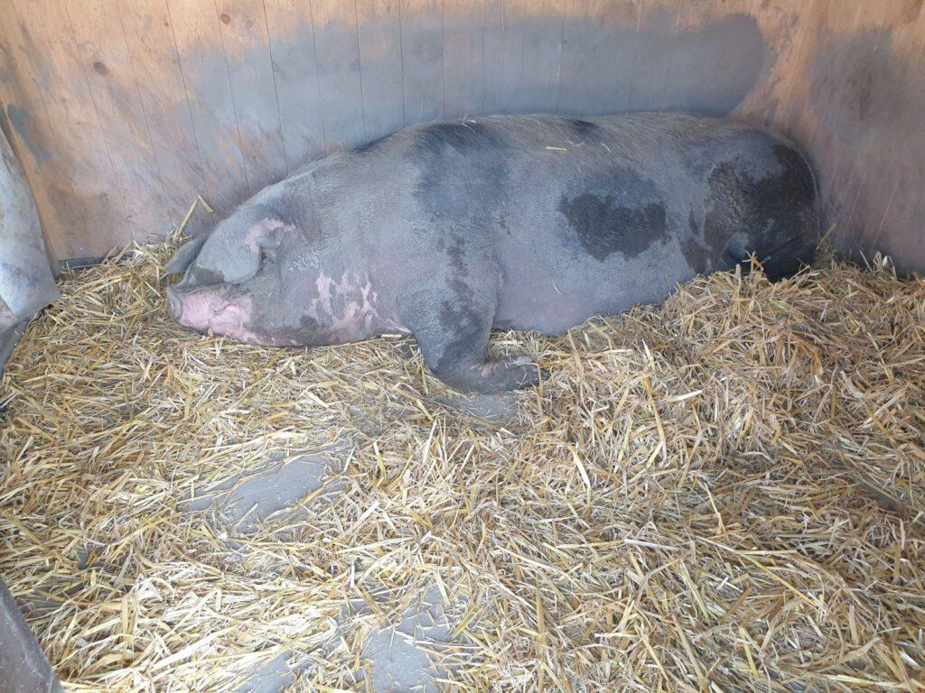 """""""Trude"""" liegt in ihrem Stall und bereitet sich auf die Geburt vor"""