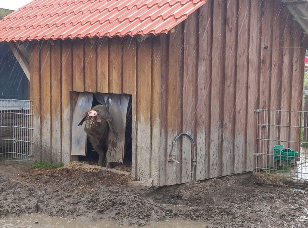 """Bentheimer-Eber """"Hauke"""" hält bei Regen nur die Nase nach draußen"""
