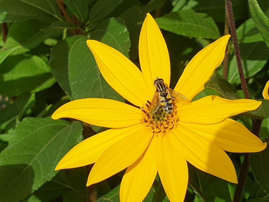 Die Biene findet reichlich Nektar