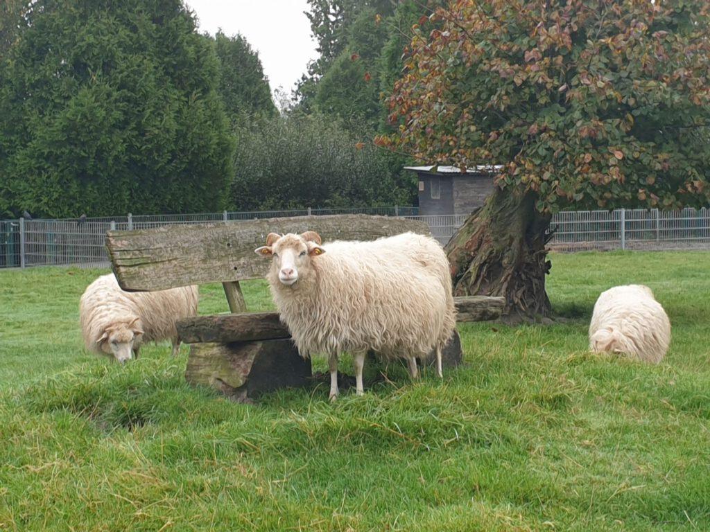 Die Heidschnucken schon im winterlichen Wollkleid empfangen die Besucher